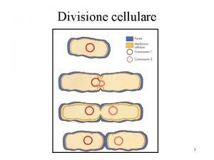 Divisione cellulare 1 Divisione cellulare 2 Divisione cellulare