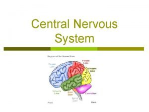 Central Nervous System Divisions of the Brain p