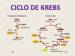 CICLO DE KREBS OU CICLO DO CIDO CTRICO