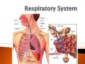 Respiratory System Respiratory System Function Outcomes The respiratory