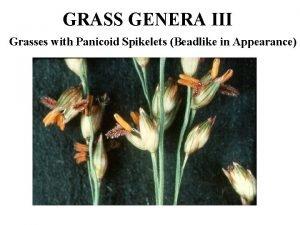GRASS GENERA III Grasses with Panicoid Spikelets Beadlike
