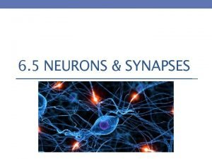 6 5 NEURONS SYNAPSES The Nervous System Divided