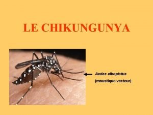 LE CHIKUNGUNYA Aedes albopictus moustique vecteur LE CHIKUNGUNYA