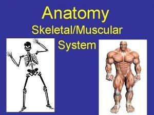 Anatomy SkeletalMuscular System The Skeletal System divided into