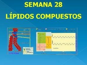 SEMANA 28 LPIDOS COMPUESTOS Lpidos compuestos a Fosfolpidos