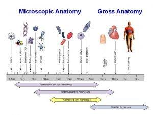 Microscopic Anatomy Gross Anatomy Levels of Organization in