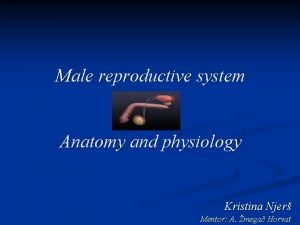 Male reproductive system Anatomy and physiology Kristina Njer
