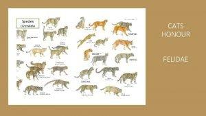 Species Overview CATS HONOUR FELIDAE Cats Honour Requirements