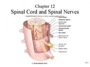 Chapter 12 Spinal Cord and Spinal Nerves 12