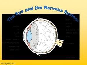 Biology Mad com The Retina Biology Mad com
