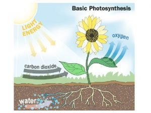 Photosynthesis process by which plants use energy from