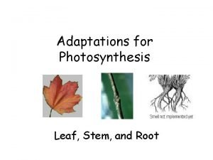 Adaptations for Photosynthesis Leaf Stem and Root LEAF