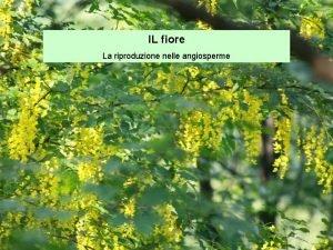 IL fiore La riproduzione nelle angiosperme Il fiore