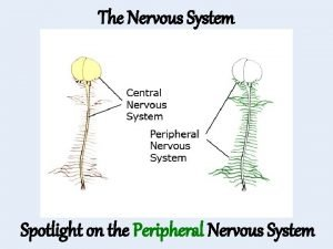 The Nervous System Spotlight on the Peripheral Nervous