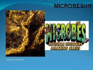 MICROBES Alcanivorax Borkumensis Stars Microbes Jim Foley What