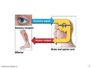 Sensory input Integration Sensory receptor Motor output Brain
