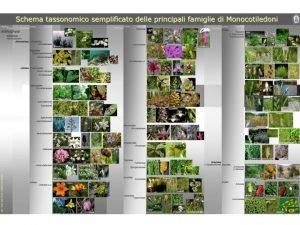 Anthophyta Classe Magnoliopsida e Classe Liliopsida DIFFERENZE Magnoliopsida