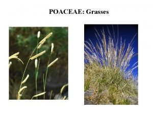 POACEAE Grasses Where are the Grass Flowers Grass