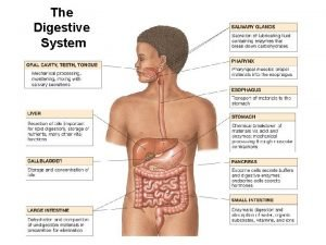 The Digestive System Digestive Tract Mouth Pharynx Esophagus