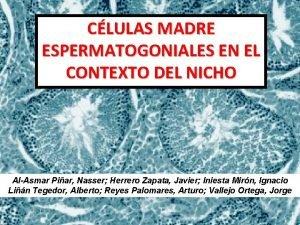 CLULAS MADRE ESPERMATOGONIALES EN EL CONTEXTO DEL NICHO