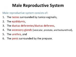 Male Reproductive System Male reproductive system consists of