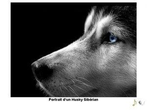 Portrait dun Husky Sibrian Deux Huskies Sibrians dans