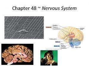 Chapter 48 Nervous System Nervous systems Effector cells