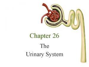 Chapter 26 The Urinary System The Urinary System