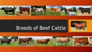 Breeds of Beef Cattle Bos Taurus Cattle of