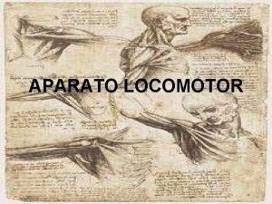 APARATO LOCOMOTOR DEFINICIN APARATO LOCOMOTOR El aparato locomotor