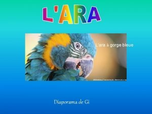 Lara gorge bleue Diaporama de Gi Ara glaucogularis