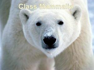 Class Mammalia Evolution of Mammals Mammals did not