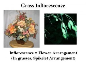 Grass Inflorescence Flower Arrangement In grasses Spikelet Arrangement