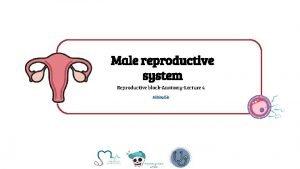 Male reproductive system Reproductive blockAnatomyLecture 4 Editing file