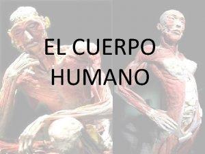 EL CUERPO HUMANO NDICE 1 Introduccin 2 Partes