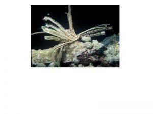 Echinoderms Thu Truong Phylum Echinodermata echino sea urchin