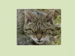 1 Scottish wildcat The Scottish wildcat Felis sylvestris