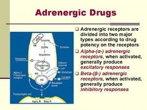 Adrenergic Drugs q Adrenergic receptors are divided into