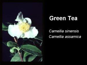 Green Tea Camellia sinensis Camellia assamica Origins Southeast