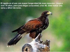 El guila es el ave con mayor longevidad