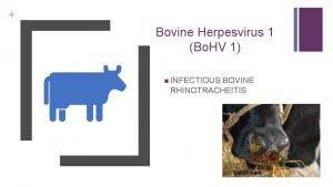 Bovine Herpesvirus 1 Bo HV 1 INFECTIOUS BOVINE