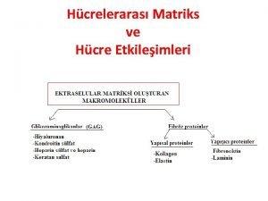 Hcreleraras Matriks ve Hcre Etkileimleri HCRE DII MATRKS