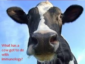 What has a cow got to do with