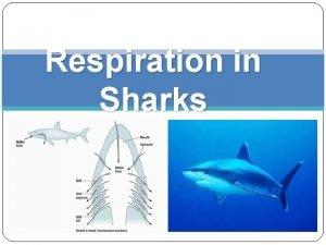Respiration in Sharks Outline Shark definition Shark physical