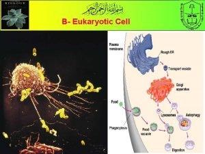 B Eukaryotic Cell B The Eukaryotic Cell Eu