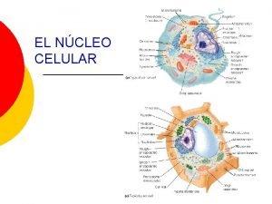 EL NCLEO CELULAR El ncleo centro de control