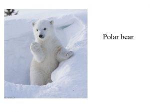 Polar bear Diet and Habitat Diet Polar bears