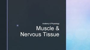 z Anatomy Physiology Muscle Nervous Tissue z Muscle