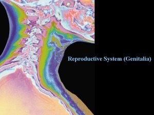 Reproductive System Genitalia Reproductive System Genitalia Not vital