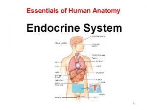 Essentials of Human Anatomy Endocrine System 1 Endocrine